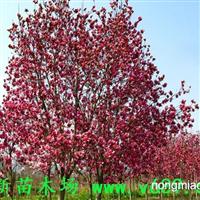 红花玉兰   武新苗木场