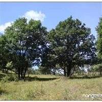 五角枫,蒙古栎,白桦,胸径8-25均有货