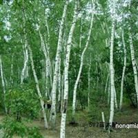 哈尔滨彩叶树繁育基地黑龙江绿化用乔灌木哈尔滨绿化工程用苗