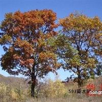 哈尔滨彩叶树繁育基地新疆彩叶树繁育基地哈尔滨绿化工程用苗
