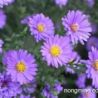 河北哪个种植基地,荷兰菊价格低