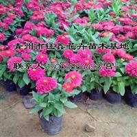 百日草种植基地_【荐】最好的百日草价格
