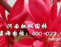 全红杨精品出售就选河南桃枫园林