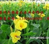 潍坊价格合理的黄色美人蕉哪里有供应|河北黄色美人蕉