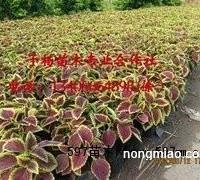 子杨苗木出售专业的金边彩叶草