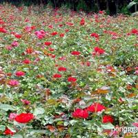 供应温江草花,各种时令花卉100余种