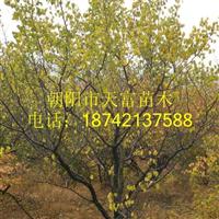 山杏树2-20公分山杏树