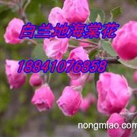 红叶海棠苗~辽宁红叶海棠苗