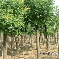 栾树各规格2-50公分