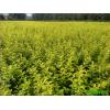 金卉园林大量供应金叶女贞,河南金叶女贞价格,园林绿化小苗。