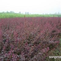 金卉园林大量供应绿化苗木,红叶小檗,色块苗,河南花卉苗木
