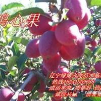 苹果苗 寒富苹果苗 123苹果苗 鸡心果苗 K9苹果苗