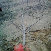 山西樱桃树 樱桃树批发 樱桃树种植 山西绿华苗木基地