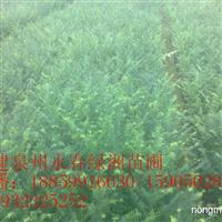 泉州红豆杉基地,厦门红豆杉行情,莆田红豆杉价格漳州红豆杉袋苗