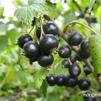 三莓小浆果育苗基地出售黑加仑苗树莓苗
