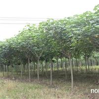 米径2-12公分木芙蓉供应 木芙蓉批发 木芙蓉单干
