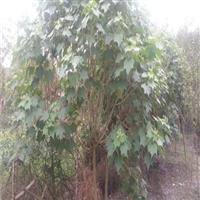 木芙蓉,四川绿化苗木,成都工程苗木,木芙蓉图片