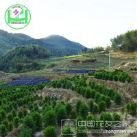 健康树 红豆杉 国家一级保护植物批发供应