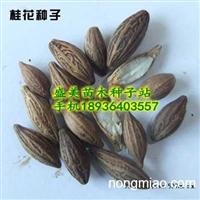 湖北桂花种子