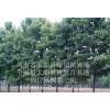 专供1-26公分楸树规格全任挑选淮阳县绿园苗圃场