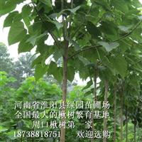 淮阳县梓楸苗木种植专业合作社大楸树价格信誉第一