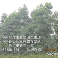 专卖1-2米高北海道黄杨楸树批发