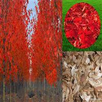 秋火焰美国红枫种子报价