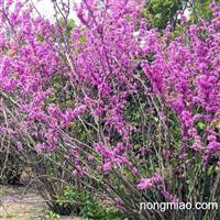 今年紫荆种子价格行情