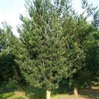 红豆杉树苗批发,基地常年供应