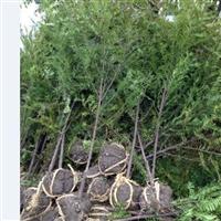 供应优质南方红豆杉苗,红豆杉苗木繁育基地大量直供红豆杉苗
