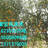 成都枳壳苗|重庆枸橘苗
