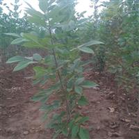 常年大量供应绿化苗木白蜡 北栾小苗大树