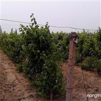 葡萄树、葡萄,各种葡萄苗