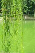 河北苗木优质的产品批发