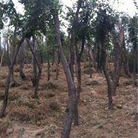 山西8公分流苏树,8-10公分流苏树,10公分流苏树价格