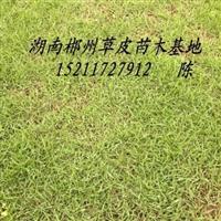 全国马尼拉草皮最新行情价格~~~~