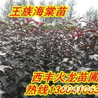 火龙苗圃常年预售紫叶海棠苗,红叶海棠苗