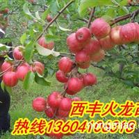 火龙苗圃大量出售寒富苹果苗,123苹果苗,鸡心果