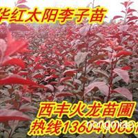 欢迎购买密枝红叶李,红叶李子苗,红叶海棠苗