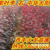 火龙苗圃低价卖紫叶李,红叶李,中华太阳李子苗