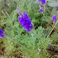 一鸣花卉出售最好的薰衣草