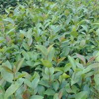 供应江西油茶小苗 优质油茶苗 一年生茶油苗