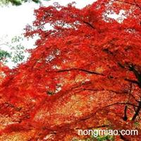 红枫图片,红枫价格,红枫基地,浙江红枫,美国红枫