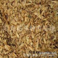 美国红枫种子批发正品保障发芽率高林木种子北方红枫树种子