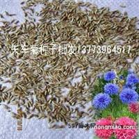 产自欧洲的草本花卉种子矢车菊种子蓝色和粉色混色菊花种子