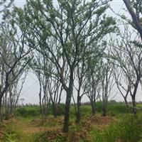 本苗圃现在出售全冠移栽朴树