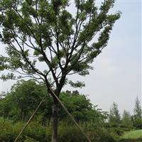 安徽滁州出售朴树