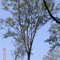 供应大量朴树