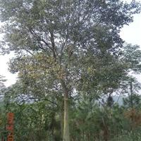 滁州地区出售朴树