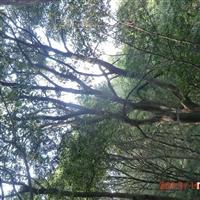 常年出售朴树